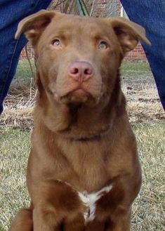 Retriever (Unknown Type) Mix Dog for adoption in Greenfield, Indiana - Morgan