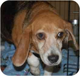 Beagle Mix Dog for adoption in Gallatin, Tennessee - Clara Marie
