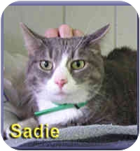 Domestic Shorthair Cat for adoption in Aldie, Virginia - Sadie