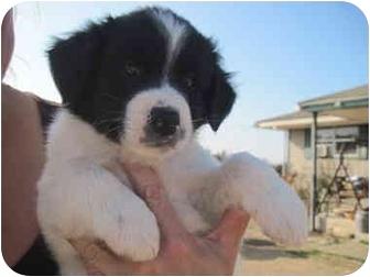 St. Bernard Mix Puppy for adoption in harrah, Oklahoma - 4 Saint pups