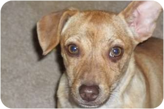Dachshund/Chihuahua Mix Puppy for adoption in Arenas Valley, New Mexico - Sundance