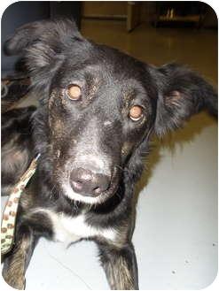 Labrador Retriever/Border Collie Mix Dog for adoption in Council Bluffs, Iowa - Sasha