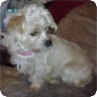 Yorkie, Yorkshire Terrier Mix Dog for adoption in Phoenix, Arizona - Aaralyn