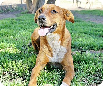 Hound (Unknown Type)/Labrador Retriever Mix Dog for adoption in McKinney, Texas - Dexter