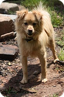 Pomeranian/Yorkie, Yorkshire Terrier Mix Dog for adoption in Prince William County, Virginia - harley