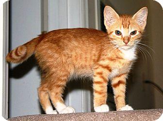 Domestic Shorthair Kitten for adoption in Harrisonburg, Virginia - URGENT Dorito