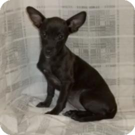 Chihuahua Mix Puppy for adoption in Browns Mills, New Jersey - Dora