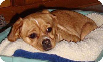 Pug/Beagle Mix Dog for adoption in Oak Creek, Wisconsin - Cookie