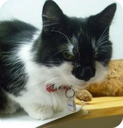 Domestic Mediumhair Cat for adoption in Hamburg, New York - Murphy
