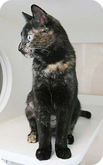 Calico Kitten for adoption in Merrifield, Virginia - Tiny Meow
