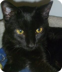 Domestic Shorthair Cat for adoption in Hamburg, New York - Suzy Q