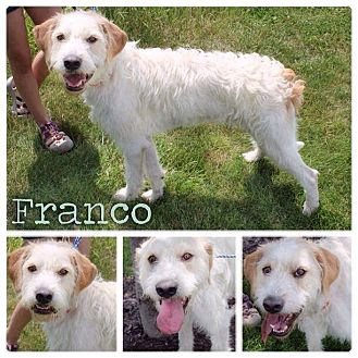 Italian Spinone Mix Dog for adoption in Garden City, Michigan - Franco