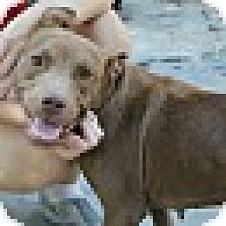 Labrador Retriever/Terrier (Unknown Type, Medium) Mix Dog for adoption in Homewood, Alabama - Anna