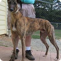 Adopt A Pet :: Dinozzo - Oak Ridge, NC