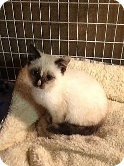 Siamese Kitten for adoption in Douglas, Wyoming - Carrie