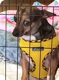 Dachshund/Chihuahua Mix Dog for adoption in Waretown, New Jersey - MISS PIPPIN'S
