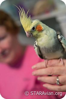 Cockatiel for adoption in St. Louis, Missouri - Dougie & Moses