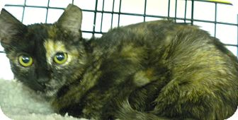 Domestic Shorthair Cat for adoption in Forest Hills, New York - Pumpkin