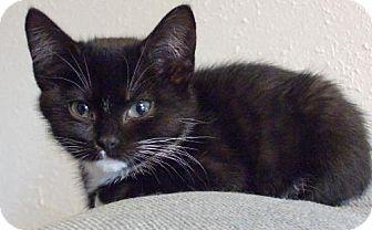 Manx Kitten for adoption in Vancouver, Washington - Manxie
