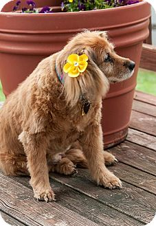 Cocker Spaniel Dog for adoption in Flushing, New York - Cyndi Lauper
