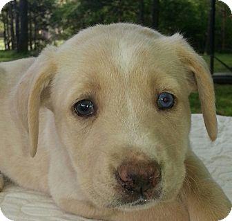 Labrador Retriever/Australian Cattle Dog Mix Puppy for adoption in albany, New York - Basha