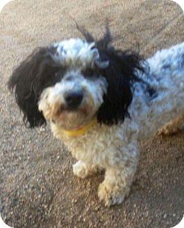 Poodle (Miniature) Dog for adoption in Portland, Oregon - Daniel (bonded w/Tessa)