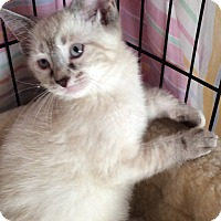 Adopt A Pet :: Ming - Acme, PA