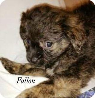 Maltese/Pomeranian Mix Puppy for adoption in Bartonsville, Pennsylvania - Fallon