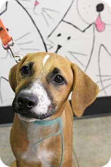 Boxer Mix Puppy for adoption in Bradenton, Florida - Bop
