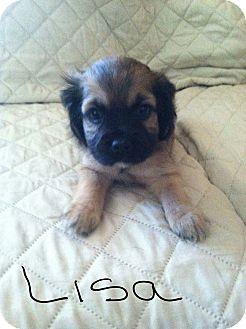 Shih Tzu/Brussels Griffon Mix Puppy for adoption in Rancho Cucamonga, California - LISA