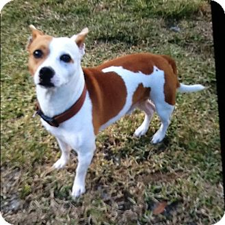 French Bulldog/Jack Russell Terrier Mix Dog for adoption in Palm Bay, Florida - Brutus
