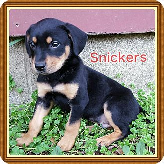 Dachshund/Chihuahua Mix Puppy for adoption in Cranford, New Jersey - Snickers