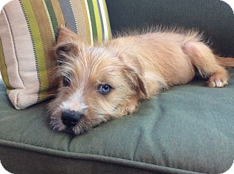 Terrier (Unknown Type, Medium)/Hound (Unknown Type) Mix Puppy for adoption in Greensboro, Georgia - Sherlock
