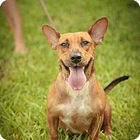 Adopt A Pet :: JOSIE <3 - Davie, FL