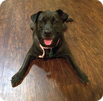 Labrador Retriever Mix Dog for adoption in Chattanooga, Tennessee - Pippa