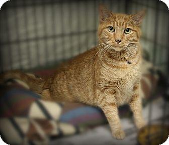 Domestic Shorthair Cat for adoption in Glen Mills, Pennsylvania - Captain