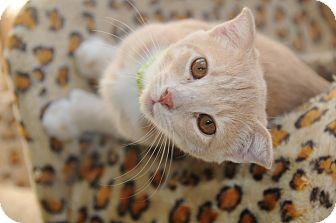 Scottish Fold Kitten for adoption in Agoura Hills, California - Flipper