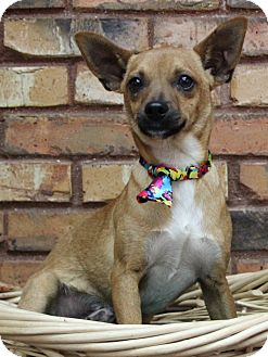 Chihuahua/Terrier (Unknown Type, Small) Mix Dog for adoption in Benbrook, Texas - Lucky