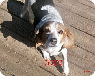 Beagle Dog for adoption in Ventnor City, New Jersey - JODI