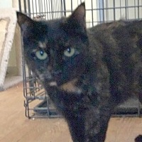 Domestic Mediumhair Cat for adoption in Devon, Pennsylvania - Turbo