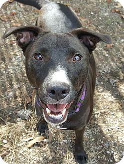 Labrador Retriever/American Pit Bull Terrier Mix Dog for adoption in Dallas, Texas - zzAnna Lee