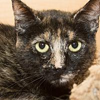 Adopt A Pet :: Amelia - Irvine, CA