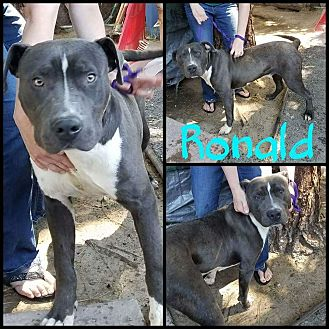 American Pit Bull Terrier Mix Dog for adoption in Lancaster, California - Ronald