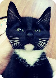 Domestic Shorthair Kitten for adoption in Trevose, Pennsylvania - Kimolas