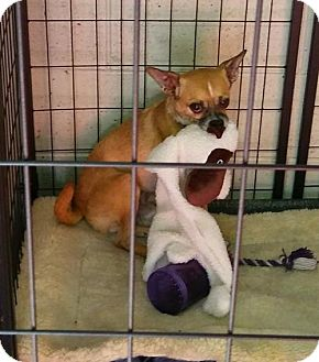 Chihuahua/Miniature Pinscher Mix Dog for adoption in Mukwonago, Wisconsin - Rollins