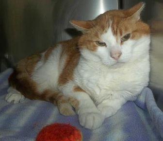 Domestic Shorthair/Domestic Shorthair Mix Cat for adoption in Antigo, Wisconsin - Renegade