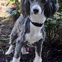 Adopt A Pet :: Reece - Bridgeton, MO