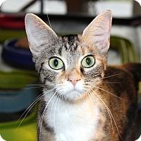 Adopt A Pet :: CJ - Fairfax, VA