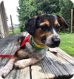 Beagle Mix Puppy for adoption in Walden, New York - Wilbur