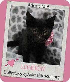 Domestic Shorthair Kitten for adoption in Lincoln, Nebraska - LONDON